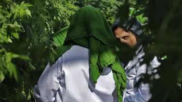 Workers prune marijuana plants at a tomato greenhouse renovated to grow pot in Delta, British Columbia.