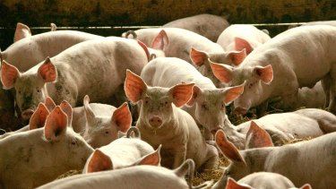 A new, more infectious swine flu has been detected.