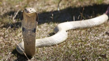New research has found the venom from spitting cobras is supercharged to cause as much pain as possible.