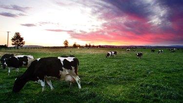 Dairy cattle on a farm near Singleton.