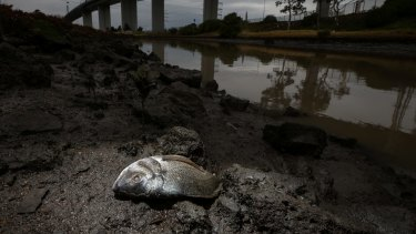 Dead fish washed up along the banks of Stony Creek in the days after last year's factory fire.