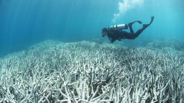 Coral bleaching near Heron Island in February 2016. A report prepared for UNESCO says global warming, which causes coral bleaching, is the reef's biggest threat.