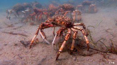 Giant spider crabs are making their way back to Port Phillip Bay.
