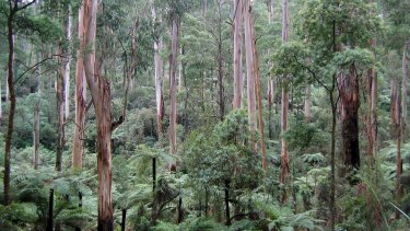Sherbrooke Forest in the Dandenong Ranges National Park.