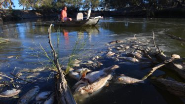 Some of the thousands of dead fish in the Darling River near Menindee.