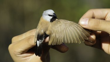 The presence of the black-throated finch is one stumbling block for the mining giant.