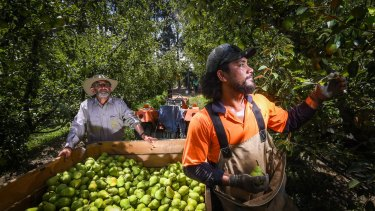 Fruit pickers in Victoria last month.