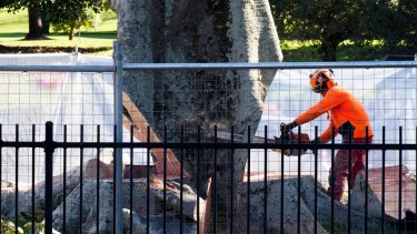 The felling of a Moreton Bay fig tree on Anzac Parade for the light rail line.