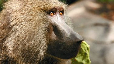 An olive baboon.