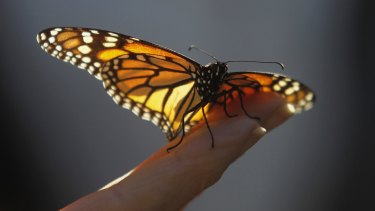 The beauty of a monarch butterfly.