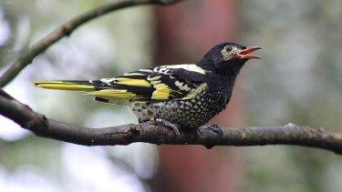 The Regent Honeyeater bird.