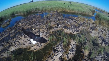 An Ibis colony with thousands of infant birds in the Macquarie Marshes during the wet spell in 2016.