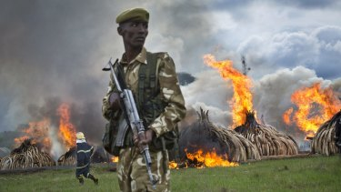 A ranger stands guards a stockpile of ivory set on fire in Nairobi, Kenya, in a dramatic statement against the trade. Critics say the international market in wildlife products is undermining efforts in Africa to stop the poaching crisis.