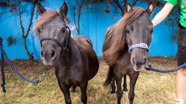 Miniature ponies among eight starved horses rescued in