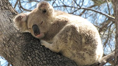 There are healthy koala populations around Rosewood, Wallon and Grandchester, says Ipswich City Council.