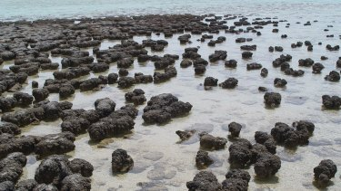 Billions of years after they first appeared, living stromatolites thrive in the waters of Hamelin Pool in WA.