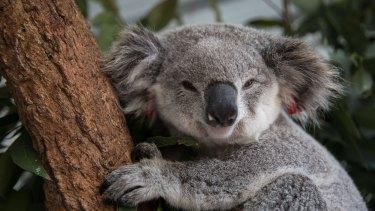 A female koala sits in an enclosure waiting release.