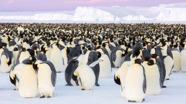 The Emperor penguin colony in Antarctica's Atka Bay.