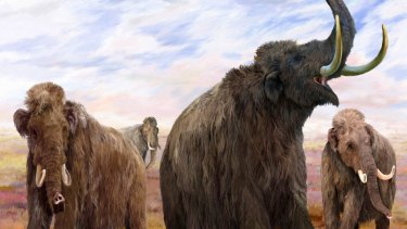 The hybrid elephant-mammoth would not have tusks, in an attempt to stop  poaching for ivory.