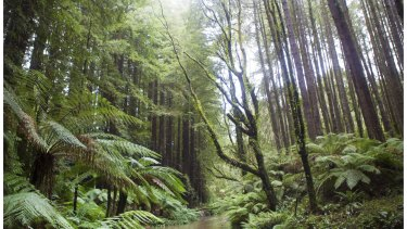Californian Redwoods in the Otway Ranges.