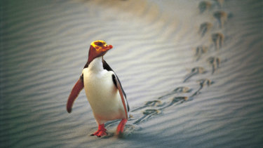 An endangered yellow-eyed penguin marches along a beach near Dunedin, New Zealand.
