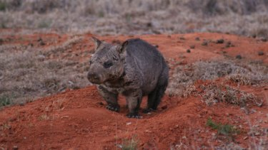 Research suggests individual wombats change the shape of their jaws over their lifetime to eat different types of food.