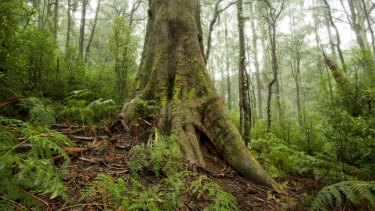 Mountain Ash in the Toolangi State Forest.