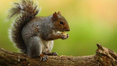 Tasty treat?: A grey squirrel.