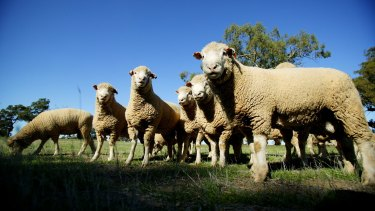 The live export of sheep is set to resume within weeks.