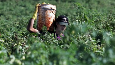 A backpacker carrying a bucket of tomatoes at a farm in Childers.