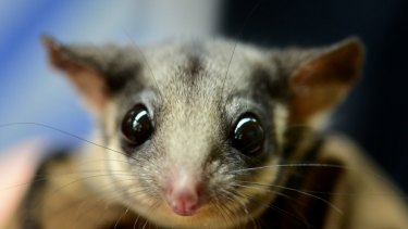 Populations of the Leadbeater's possum have declined sharply under regional forest agreements, experts say.