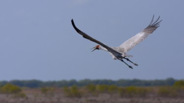 The windfarm plan has been scaled back to protect the brolga.
