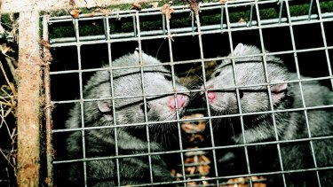 Grey mink wait for slaughter in a cage in a fur farm.