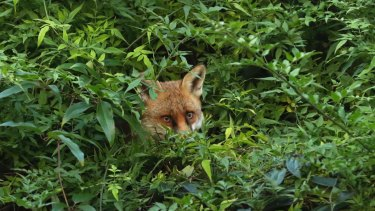 A fox, pictured in a domestic back garden in south west London last year, are a common sight across London.