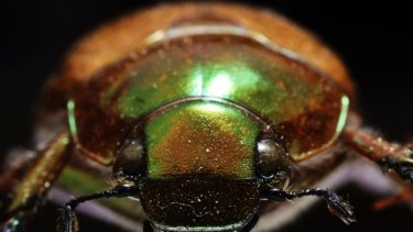 Christmas Beetle.Why It S Probably Been A While Since You Last Saw A