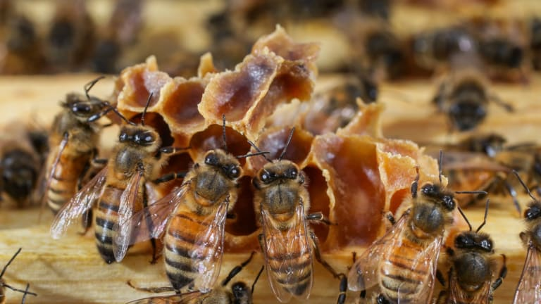 Bees sit on a hive at a Beechworth Honey site in August.
