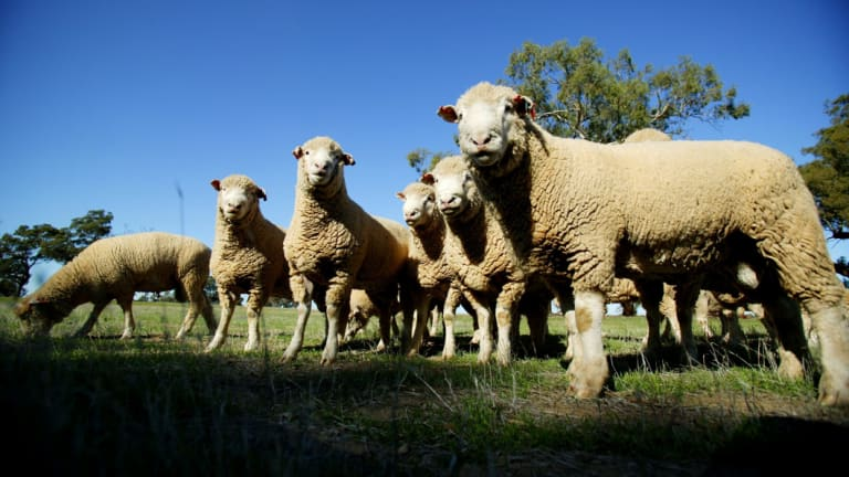 The live sheep export trade could soon end.