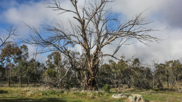 A drought-affected tree at Nardoo Hills