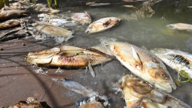 Carcasses after a mass fish kill in the Darling River at Menindee.