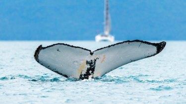 A whale pictured off the coast of Hamilton Island.