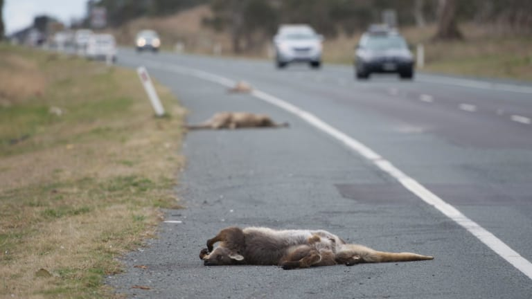 The Monaro Highway was one of the main spots for roadkill in the ACT.