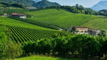 Prosecco vineyards, northern Italy.