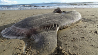 This hoodwinker sunfish, or Mola tecta, a species never before documented in the northern hemisphere, washed up at Sands Beach near Santa Barbara last month.