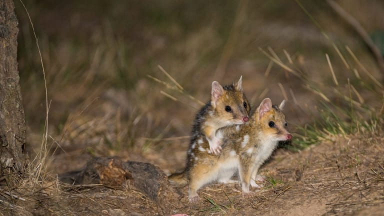 Mulligans Flat is home to endangered species such as eastern quolls.
