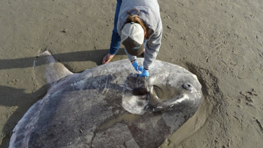 Jessica Nielsen, a conservation specialist at Coal Oil Point Reserve, takes tissue samples from the hoodwinker sunfish that washed up on Sands Beach near Santa Barbara.