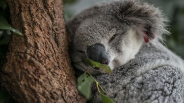 Koala numbers are declining despite the species being listed as threatened.