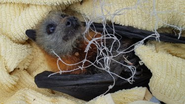 A juvenile grey-headed flying fox rescued recently from being tangled in backyard fruit netting.