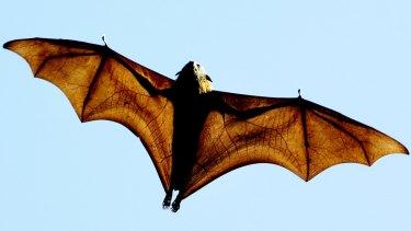A grey-headed Flying-fox (Pteropus poliocephalus), a native Australian bat.