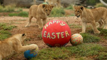 Lion cubs eye off some Easter treats at Melbourne Zoo last year.