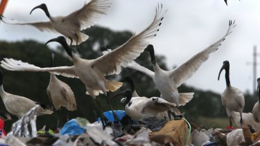 The researchers also want to focus on ibises.